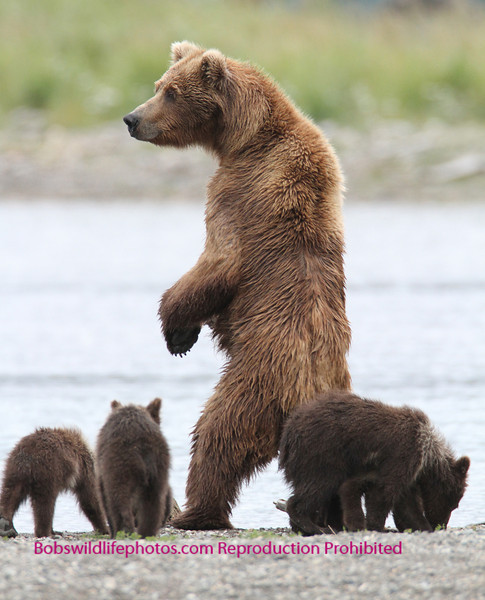 Mom getting some height to look for salmon in the water.