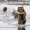 She was a very efficient fisherbear. Note the kids running behind for their share.