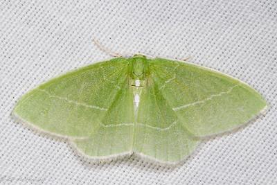 White-Fringed Emerald (Nemoria mimosaria)