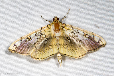 Basswood Leafroller Moth (Pantographa limata)