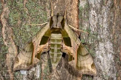 Pandorus Sphinx Moth (Eumorpha pandorus)
