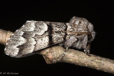 Eastern Panthea Moth (Panthea furcilla)
