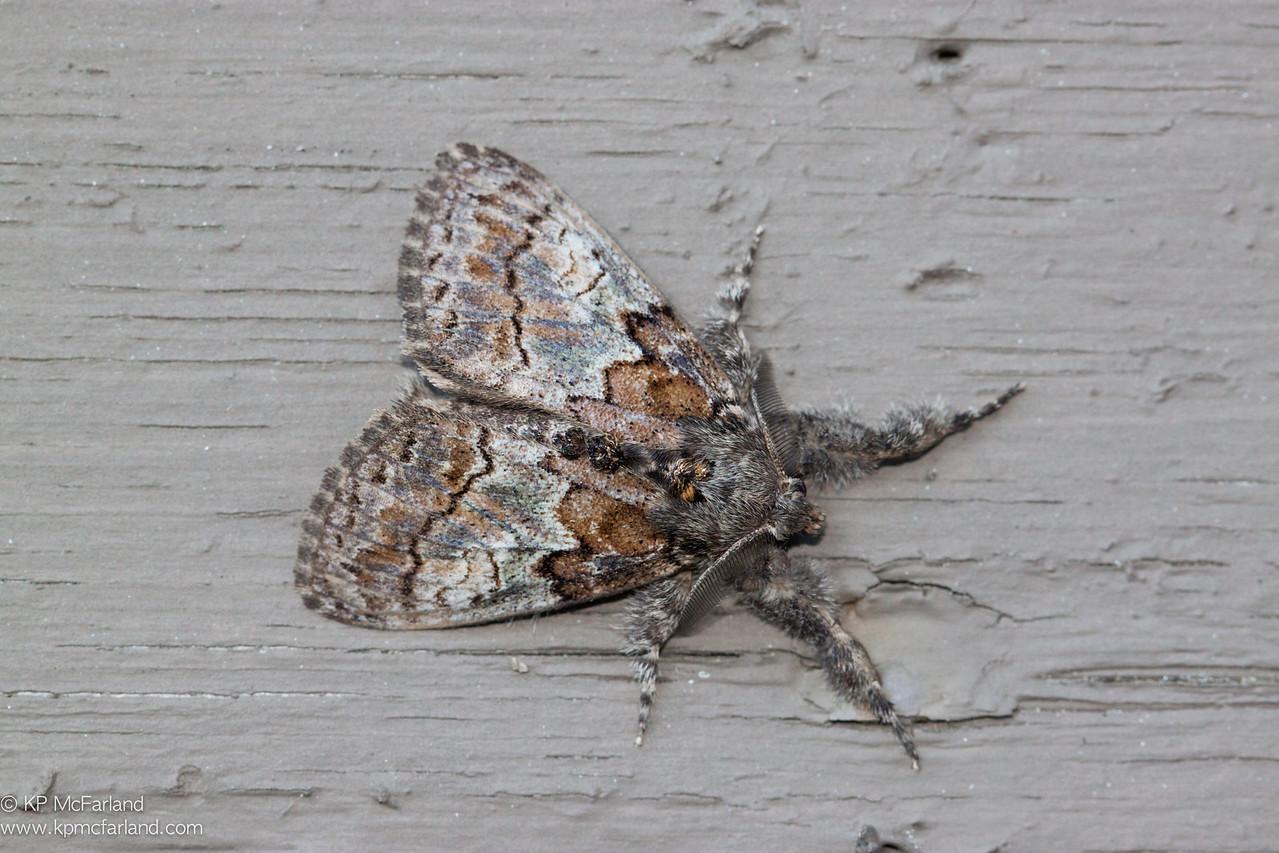Dasychira plagiata (Northern Pine Tussock Moth)