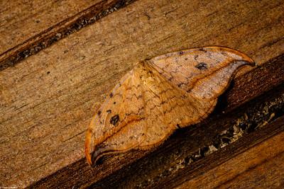 Pebble Hook-Tip Moth