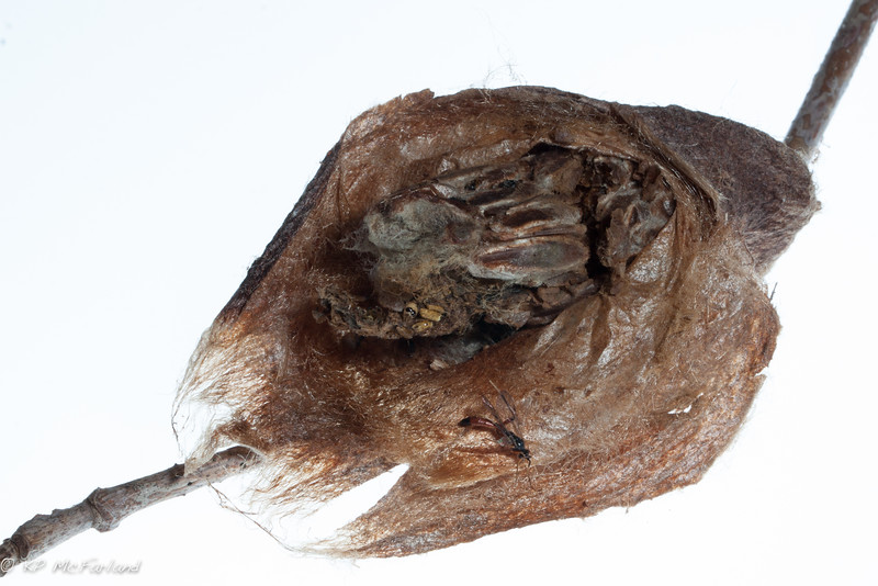 Cecropia Moth cocoon opened to show wasp nest.