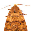Dotted Sallow Moth (Anathix ralla)
