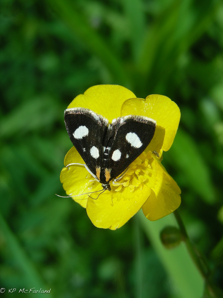 White-spotted Sable (Anania funebris)