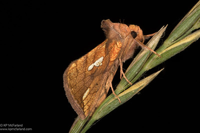 Connected Looper Moth (Plusia contexta)
