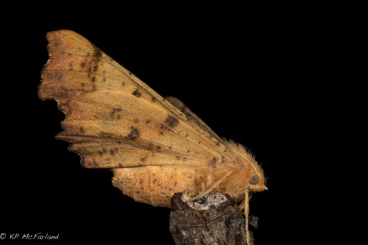 Maple Spanworm (Ennomos magnaria)