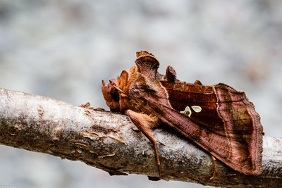 Plain Golden Y Moth