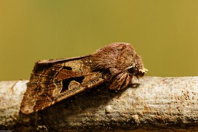 Hebrew Character Moth