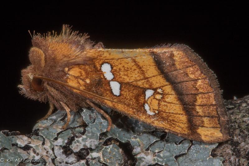 Bracken Borer (Papaipema pterisii)