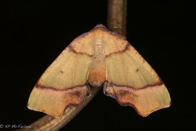 Straight-lined Plagodis (Plagodis phlogosaria)
