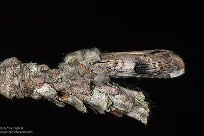Unicorn Prominent (Schizura unicornis)