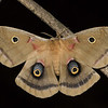Polyphemus Moth (Antheraea polyphemus) female