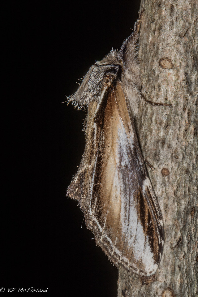 Black-rimmed Prominent (Pheosia rimosa)