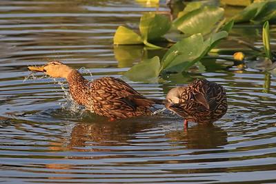 Mottled Ducks bathing
