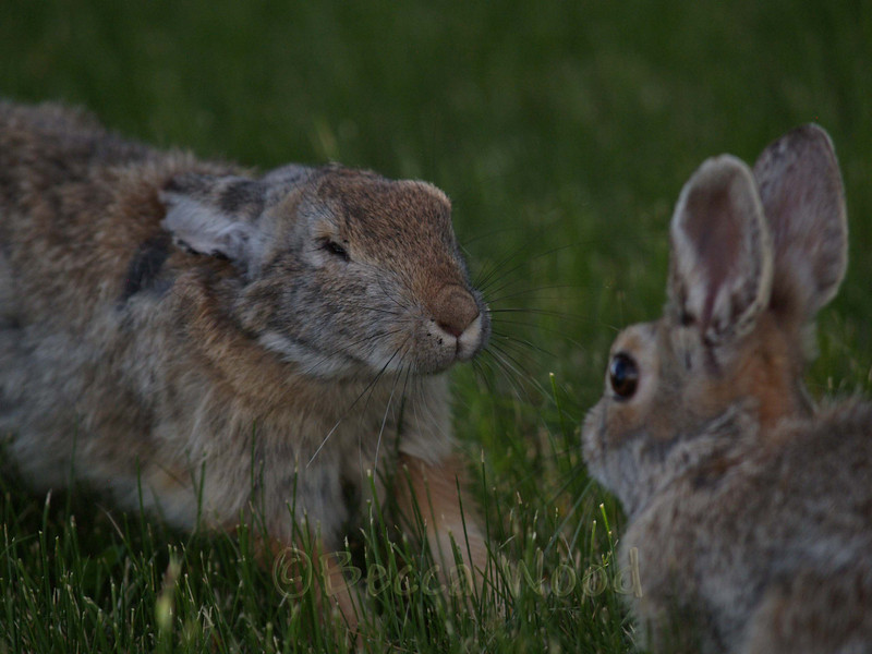 SN 09JU6458<br /> <br /> These rabbits were fighting.