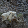 Mountain Goat, Jasper National Park