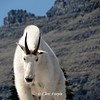 Glacier National Park ~ Montana Mountain Goat