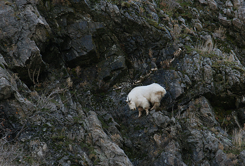 Mntn Goat Glued To Cliff