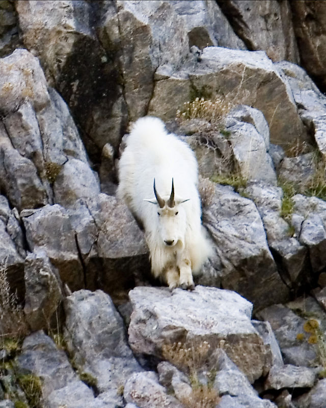 Goat Going Down Cliff