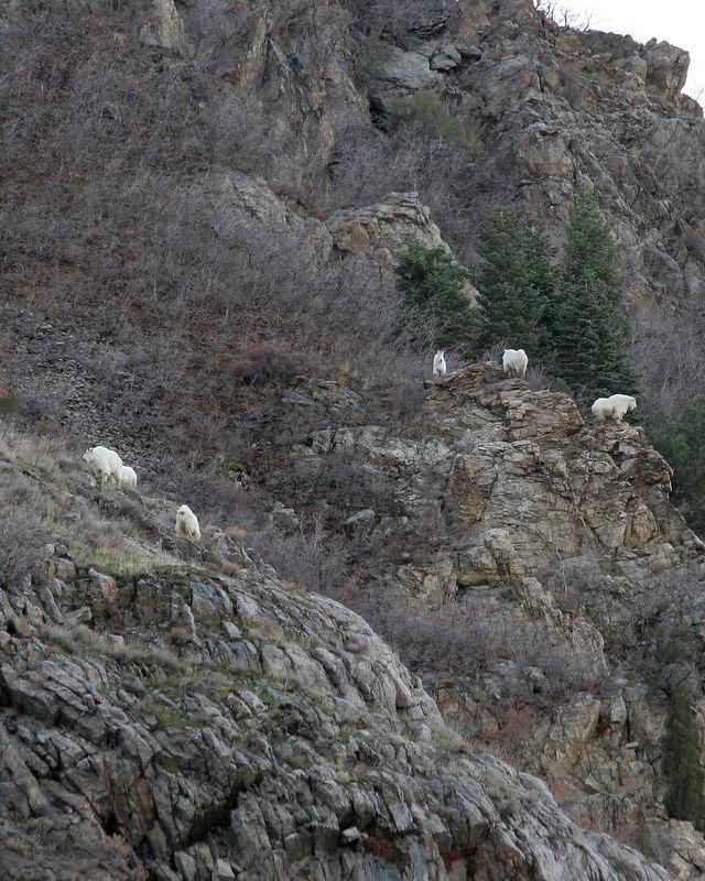 5917 5 Goats On Outcrop