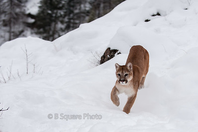 Mountain Lion Photography