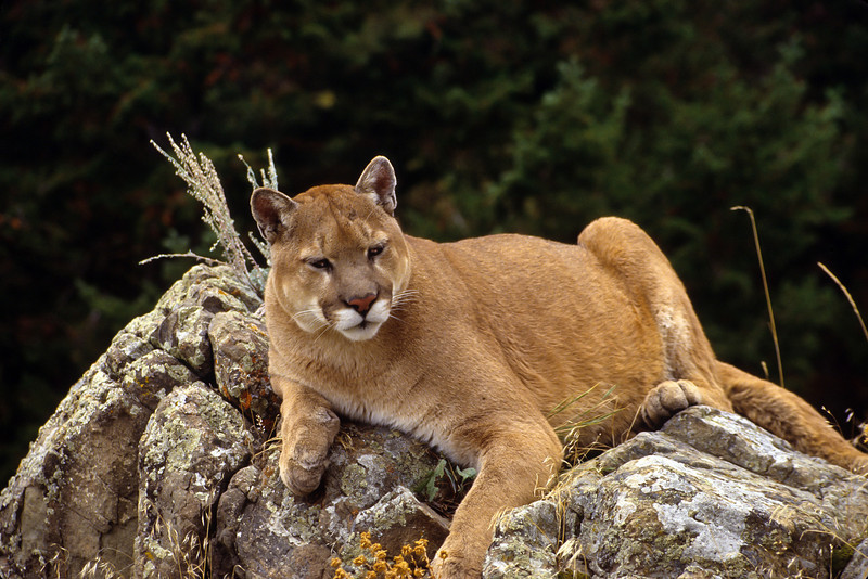 Mt Lions like to stalk their prey and then ambush.  They will hunt moose, bighorn sheep, elk and deer.  If  hnting does not go well they will look for cows and sheep.