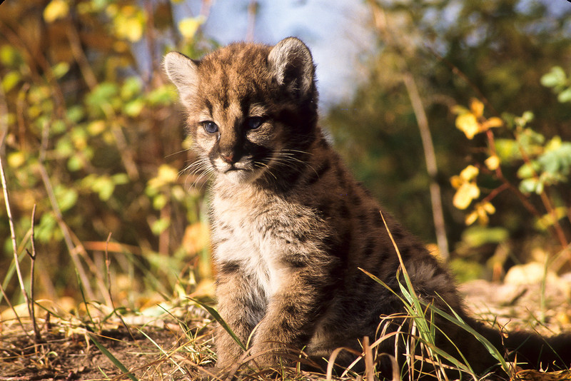 Mountain lion kitten.