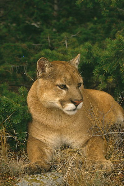 Mt lions try to avoid humans and live in forested, mountainous terrain.