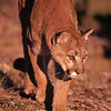 The setting sun turns this cat's world red.  The hunt has begun.  Mountain lions can run very fast for short periods, they also have extraordinary leaping abilities.