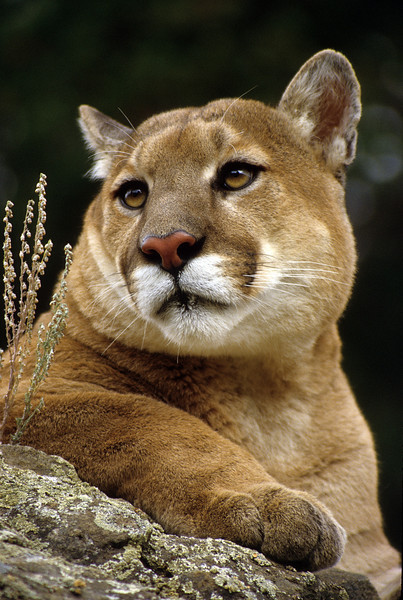 A marvelous Mountain Lion portrait.  It is all about the eyes, beautiful, yet haunting.  This cat is about eight feet long and probably over 200 pounds.  The lion is reclusive and usually avoids civilization.