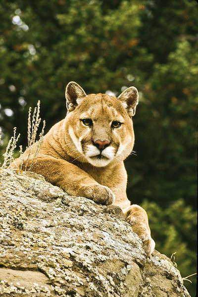 This is a very large cat.  Beautiful but dangerous.
