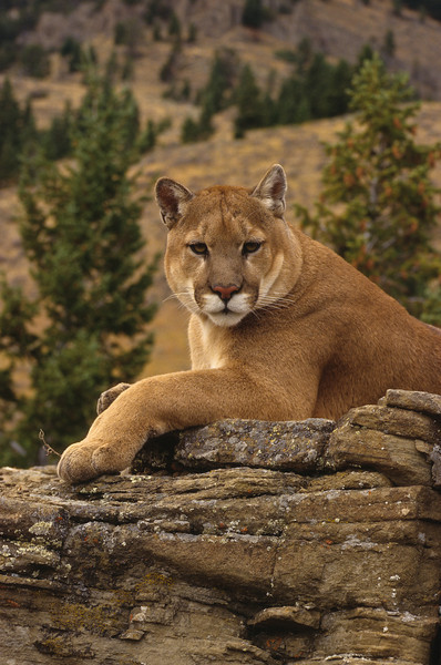 This massive Mountain Lion is guarding his domain.  He sits on the high ridges, note the expansive landscape he calls home.  It is vast and wild,