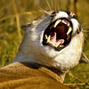 Mountain lion showing great disapproval and care must be taken.  They are great hunters and we can see why.