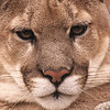 This is a beautiful and powerful face.  it captures the very soul of the mountain lion.