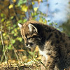 Mountain lion kitten in deep thought or watching something crawl along the ground.