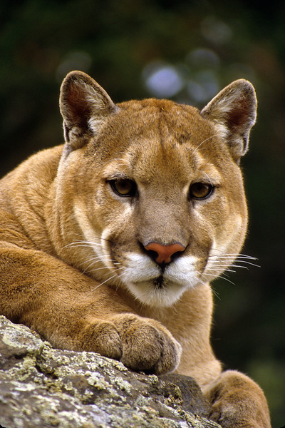The cat sees someting of interest running through the brush.  The mountain's lions range will depend upon the amount of prey found.  They enjoy hunting close to home.