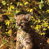 Mountain lion kitten is enjoying a warm sunny day playing in his big world.  He probably doesn't know how cute he his.