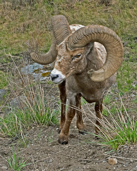 Full Curl Big Horn Ram, Yellowstone River Valley.