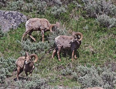 Rocky Mountain Big Horn Rams