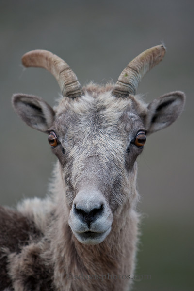 Bighorn Sheep Female (ewe)