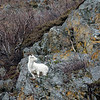 Dall Sheep Female (ewe)