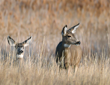 Mule Deer Ladies