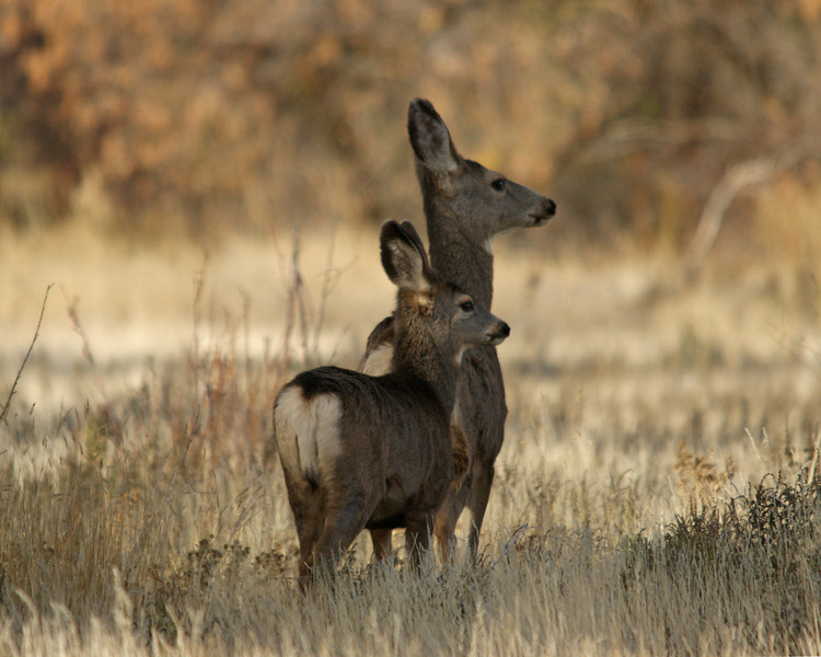 Mule Doe and Fawn