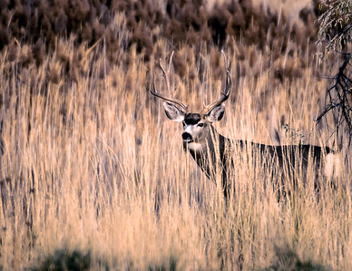 Rutting Mule Deer Buck