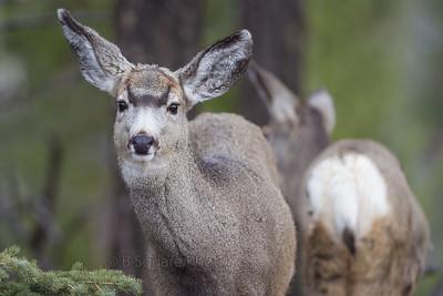 Mule Deer Photography