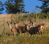 2nd buck from left has nice tall forks; the next one over has heavy, wide main beams . . . if only one buck would have both!
