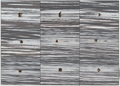 Otter hunting around 300 yards out to sea.